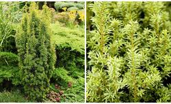 Iglaki do ogrodu. Przegląd roślin iglastych: gatunki, zdjęcia, kompozycje