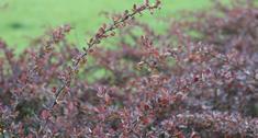 Odmiany berberysa Thunberga: berberys Aurea, berberys Atropurpurea Nana