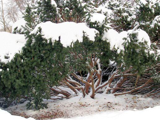 Jak zabezpieczyć rośliny przed śniegiem?