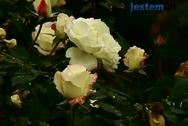 Przycinanie i okrywanie róż przed zimą
